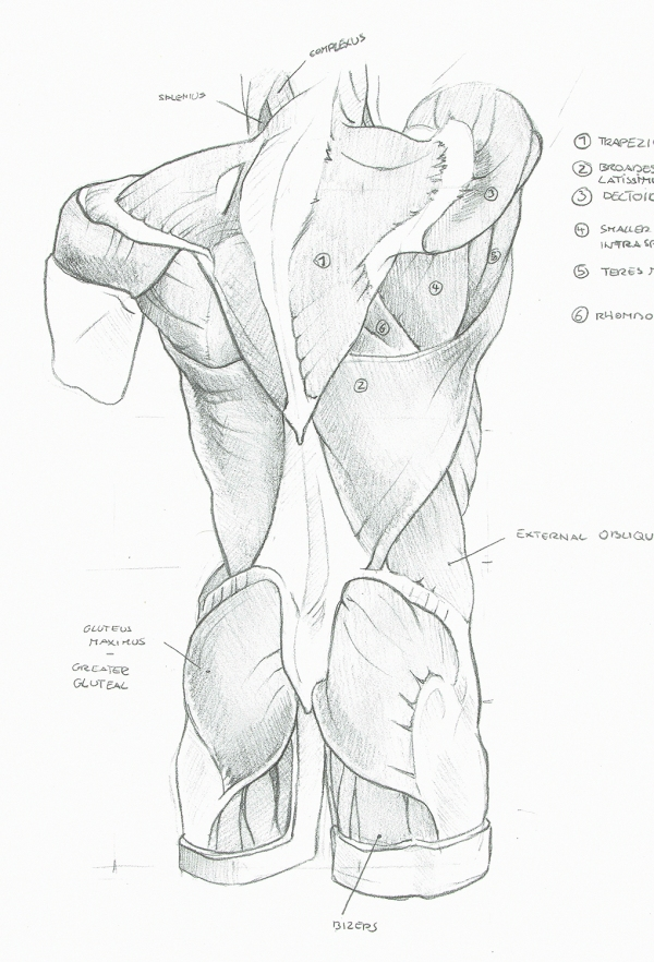 Anatomy Study - Back Muscles