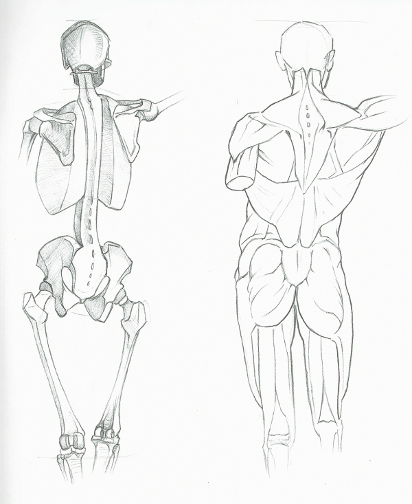 Anatomy Study - Muscles